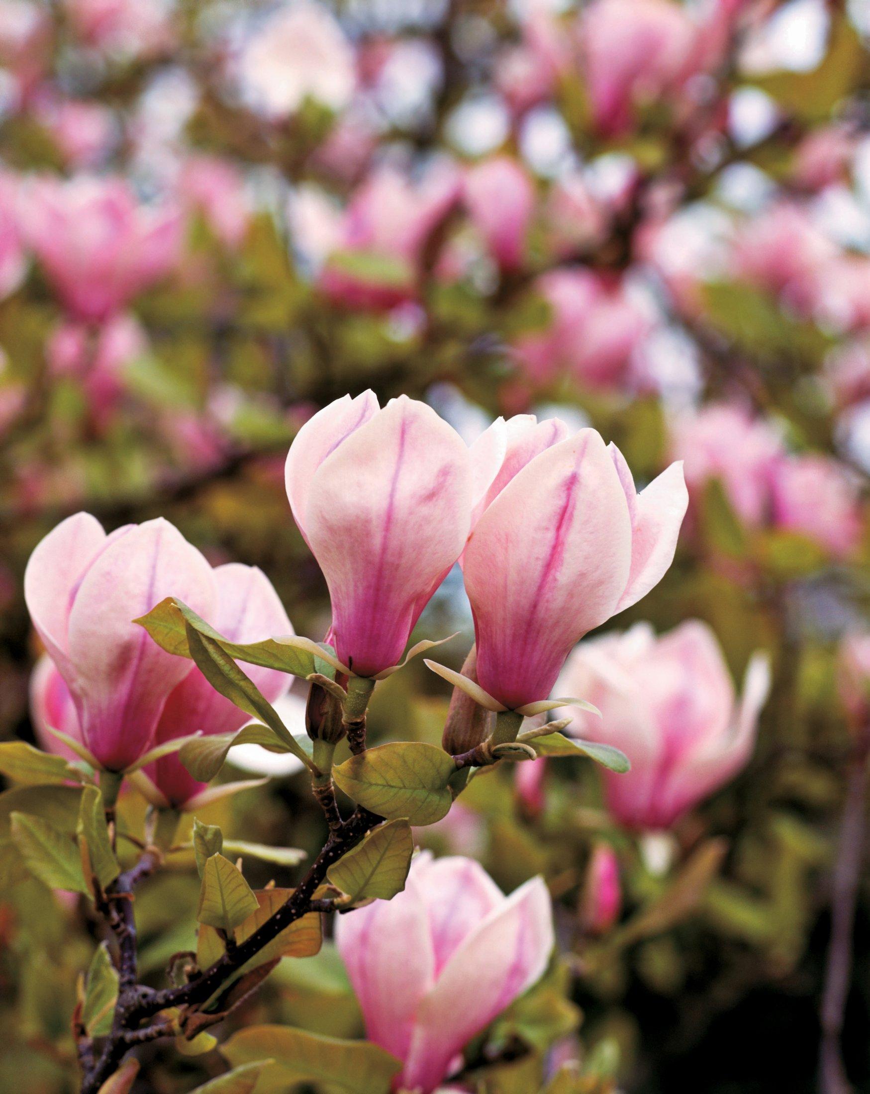 Magnolia x soulangeana, conhecida como magnólia caduca
