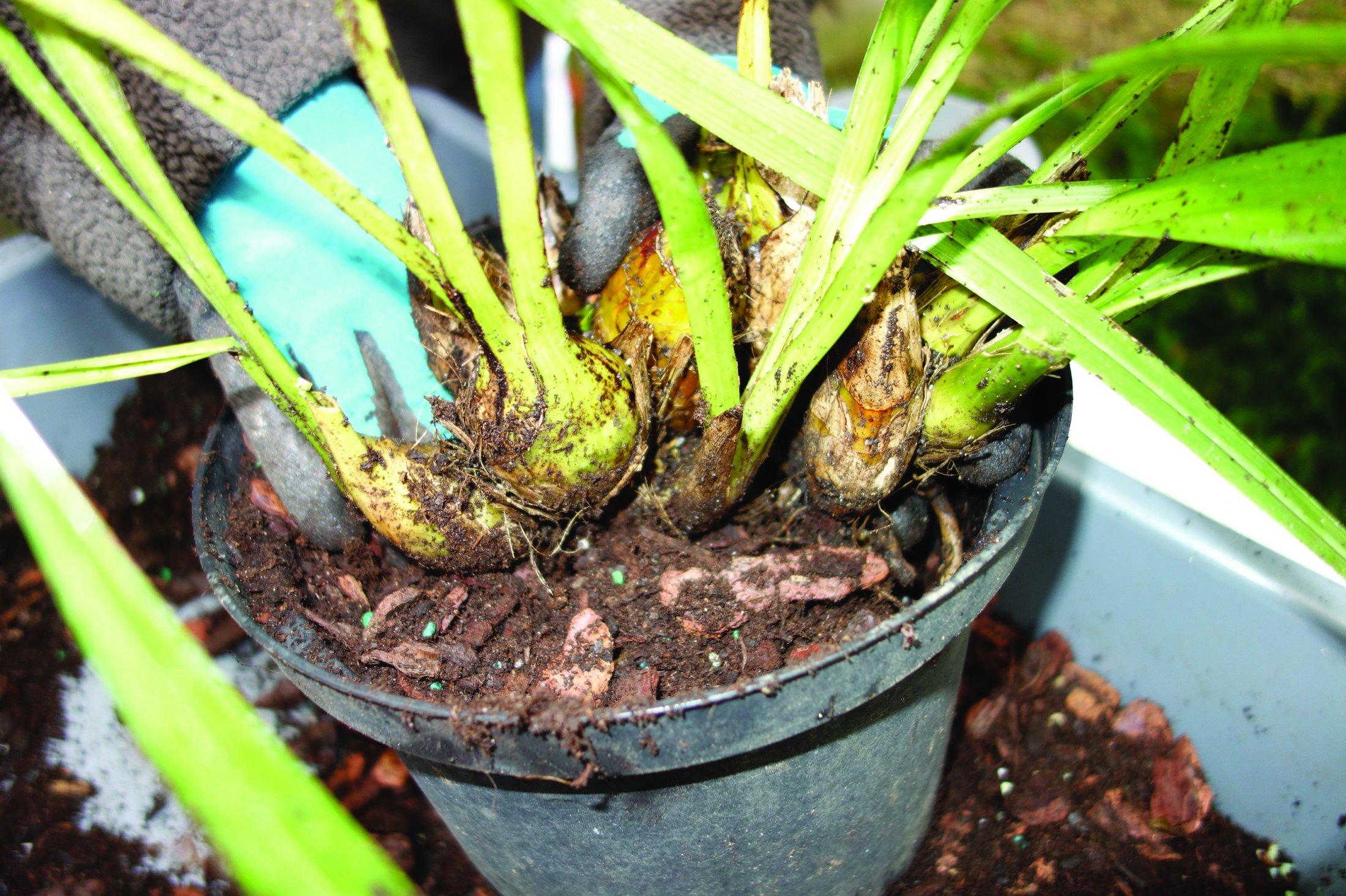 Colocam-se os pseudo-bolbos em grupos e bem apertados num vaso limpo e com a mistura do substrato com adubo granulado.