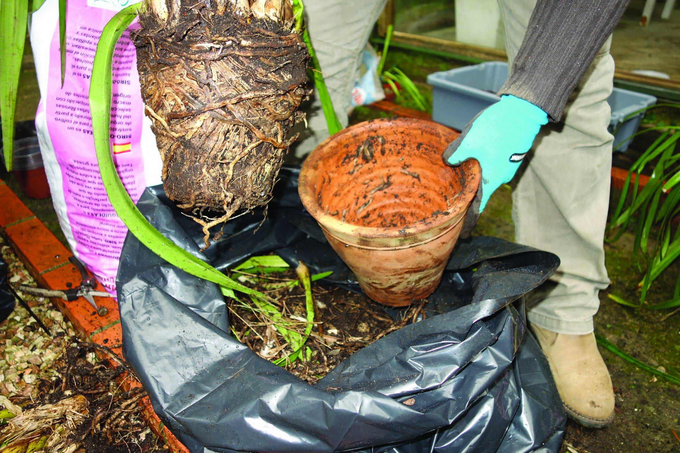 Retira-se a planta do vaso.