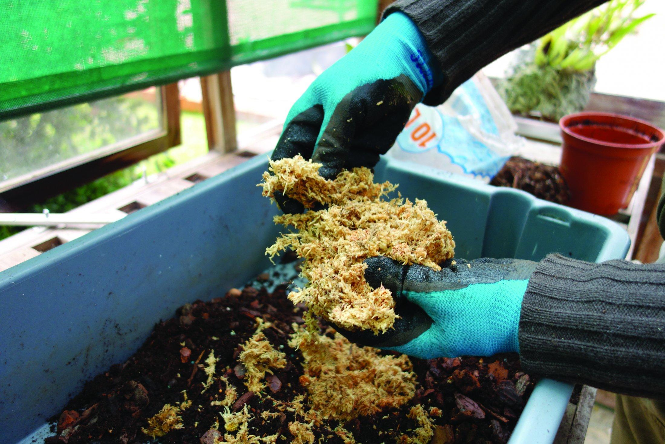 Mistura-se no substrato  o spagnum seco depois  de mergulhado em água.