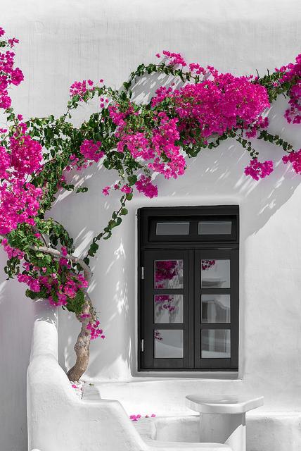 As buganvílias são um constante na Grécia.