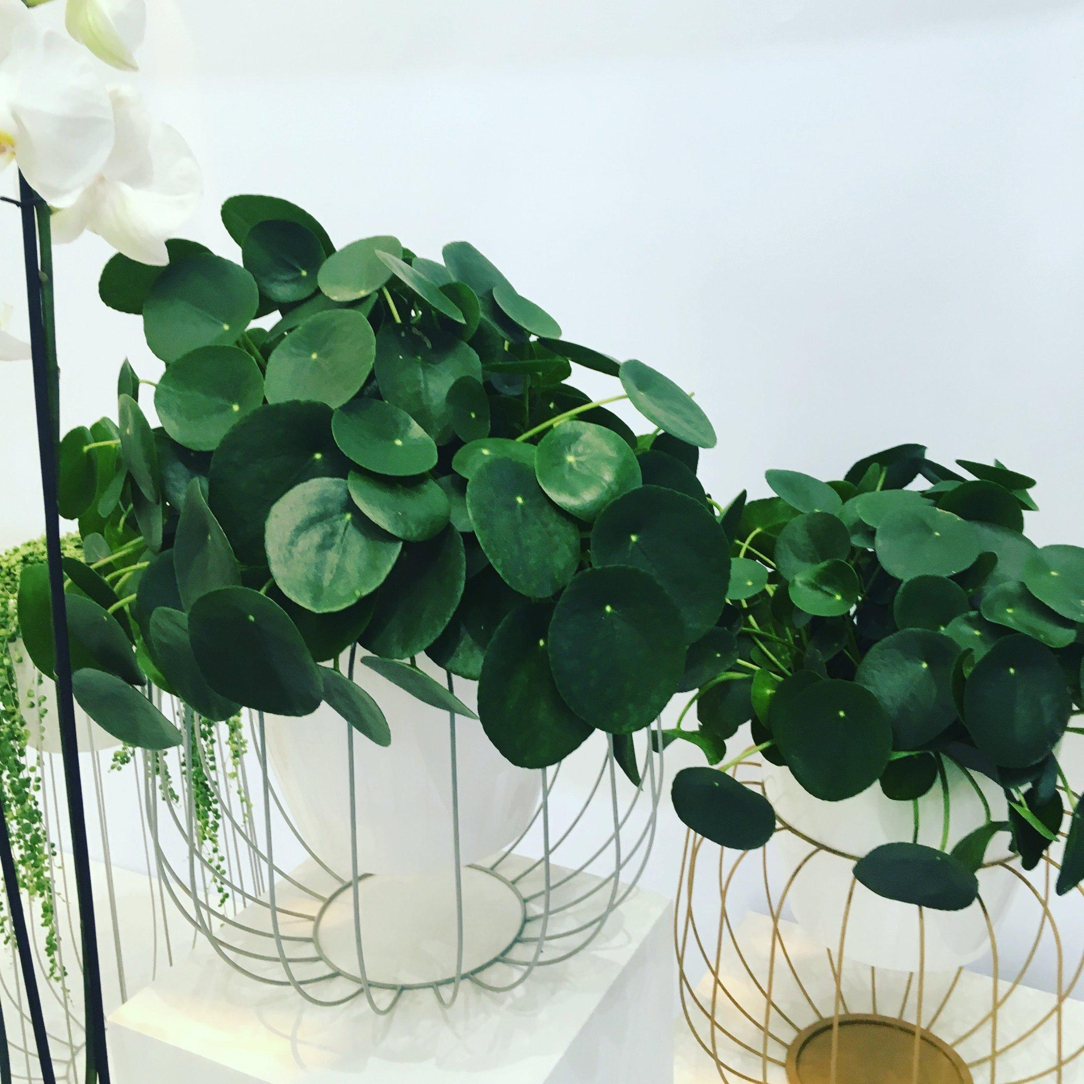 Plantas trendy (Pilea)