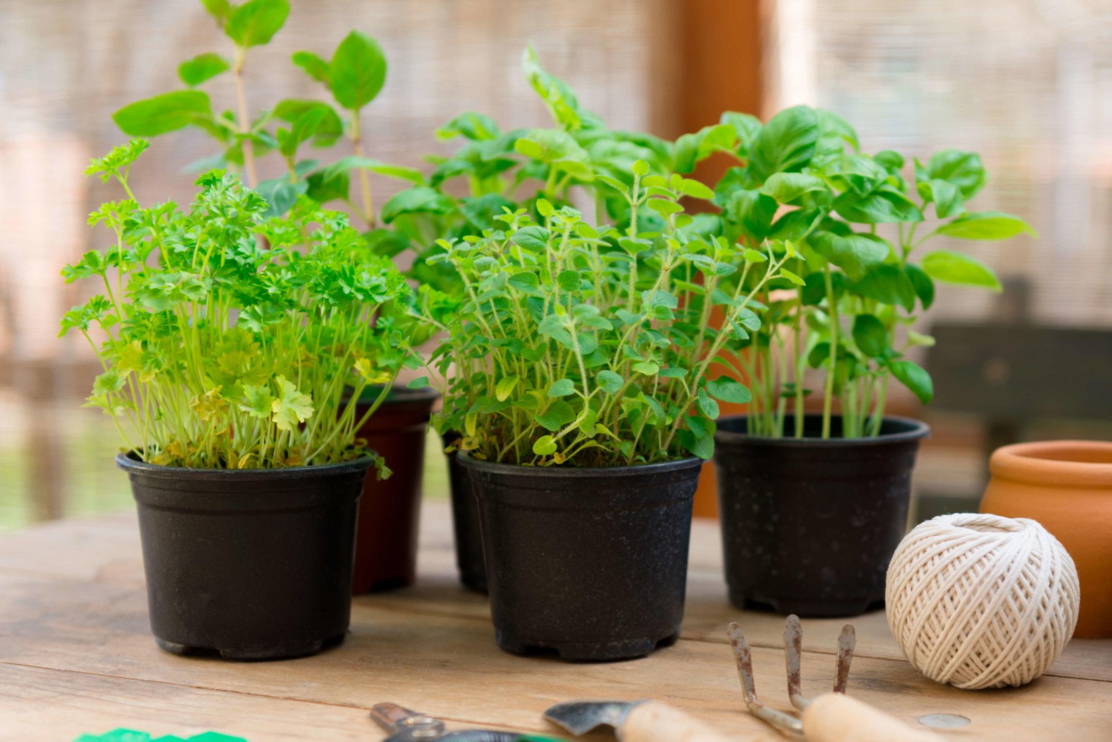 Guia cultivar plantas arom ticas em casa - Plantas aromaticas interior ...