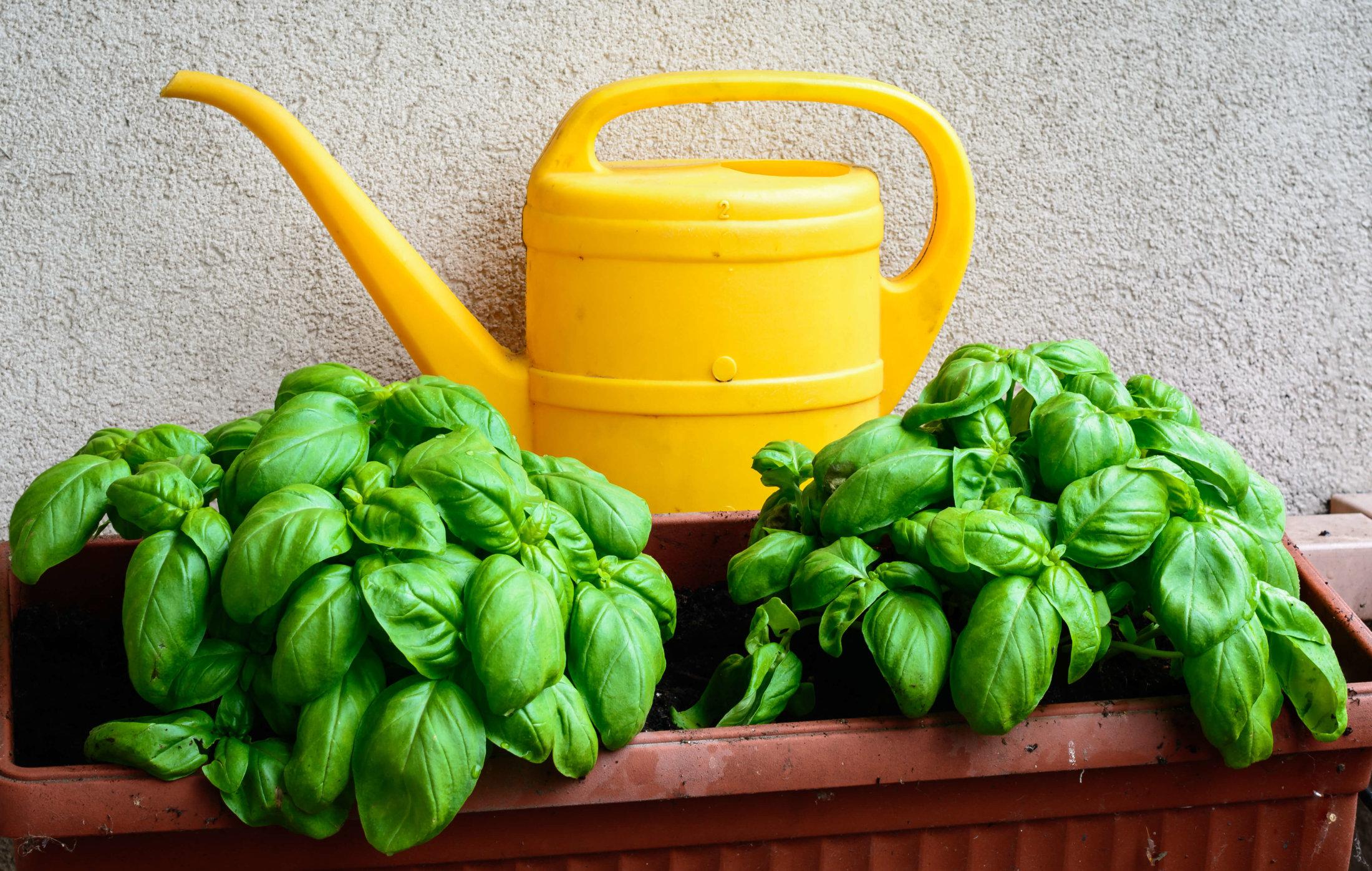 Guia cultivar plantas arom ticas em casa - Plantar plantas aromaticas ...