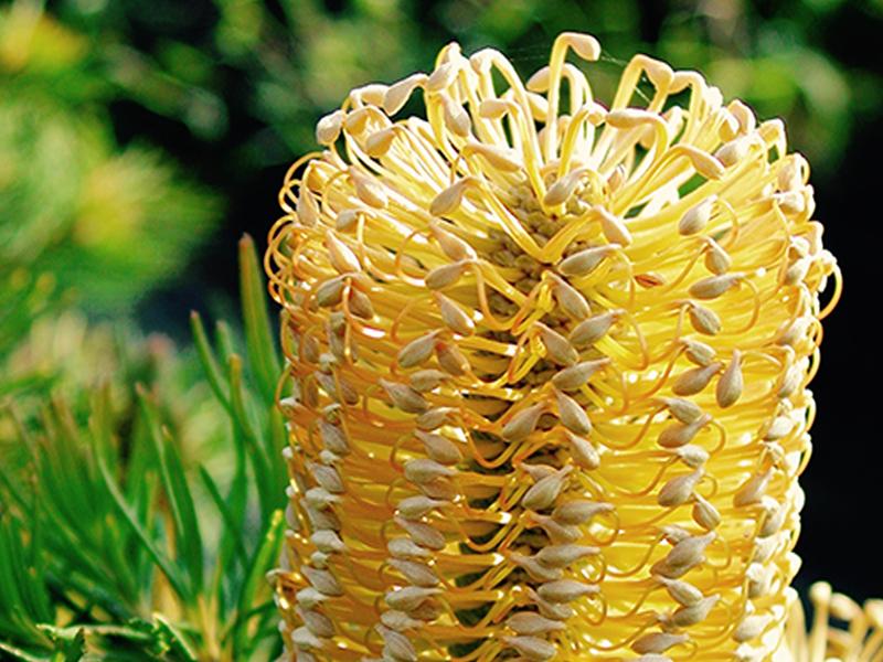 Prótea Banksia Spinulosa.