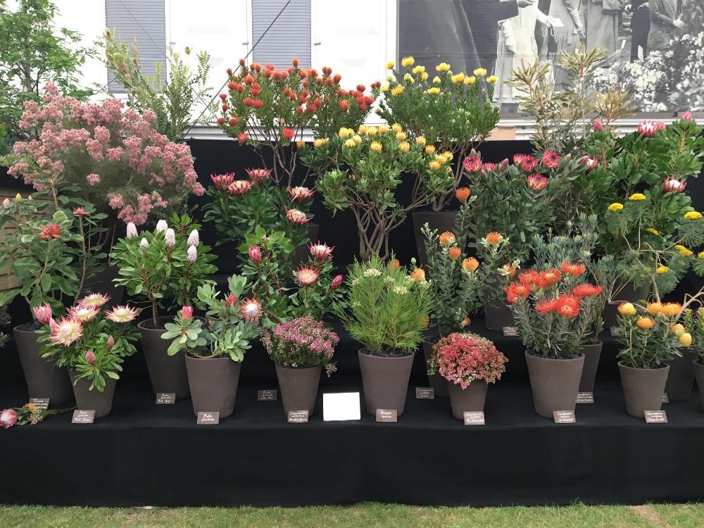 A exposição da Flora Toscana no Chelsea Flower Show.