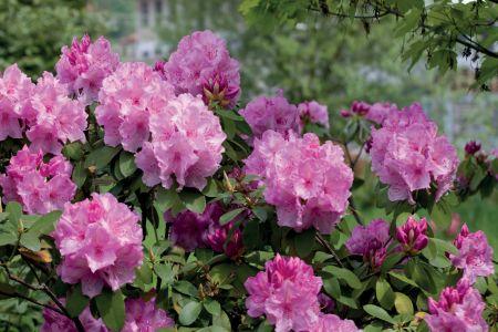 Com o rododendro, a cor no Inverno está assegurada. A cromática das suas flores abarca quase todo o espectro do arco íris. Coloque-o em solo ácido, sombra parcial e com água suficiente.