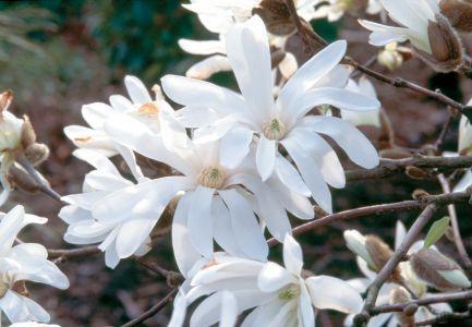 "M x loebneri ""Merril"" com fragrantes flores e numerosas pétalas"