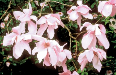 M. campbellii de flores pouco aromáticas em rosa pálido.