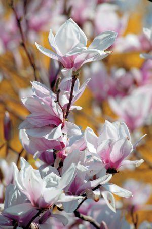 """M x soulangeana """"Brozzonii"""", de flores brancas."""