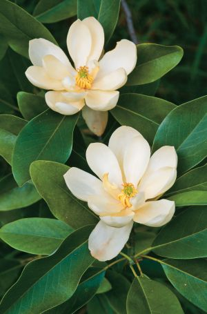 Muito popular é a Magnolia grandiflora. Com as folhas perenes e flores isoladas, brancas, grandes e fragrantes, é muito utilizada no centro dos jardins clássicos.