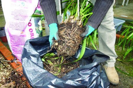 Limpam-se bem as raízes dos restos de Leca e de casca de pinheiro.