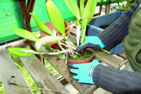 Os vasos normais não são adequados às Cattleya que têm tendência para abrir.