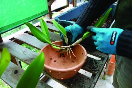 Limpam-se as raízes, divide-se a Cattleya para juntar os caules; põe-se em vasos de boca larga com orifícios.