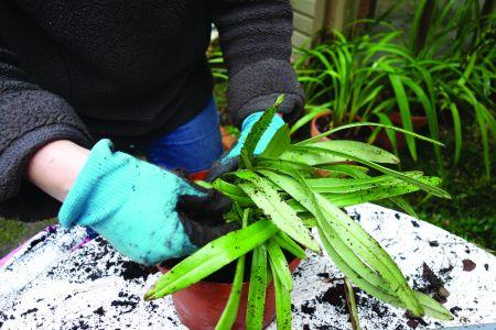 Retiram-se os Paphiopedilum  do vaso e limpam-se bem as raízes.