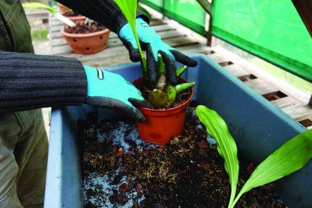 Coloca-se a planta no vaso  e calca-se bem o substrato.