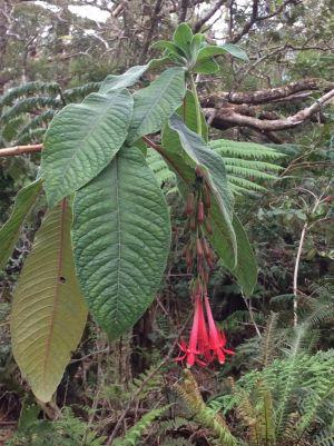 Uma fúchsia, originária da América do Sul, que já colonizou as florestas da Reunião