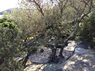As oliveiras em socalcos.