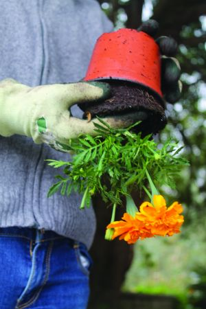 5. Retirar as plantas do vaso.
