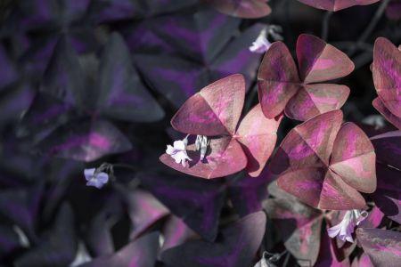 Oxalis Triangularis