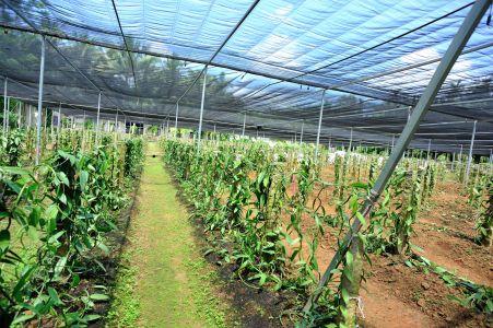 Plantação de Vanilla Planifolia.