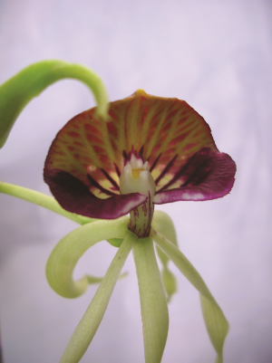 Prosthechea Cochleata 1