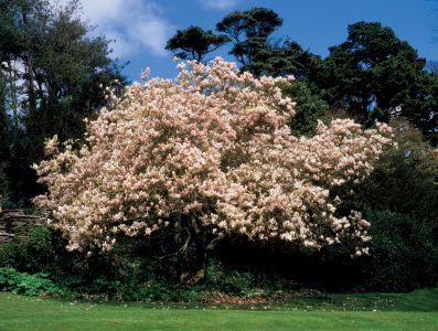A variedade arbórea de M x soulangeana pode alcançar 7 metros de altura.