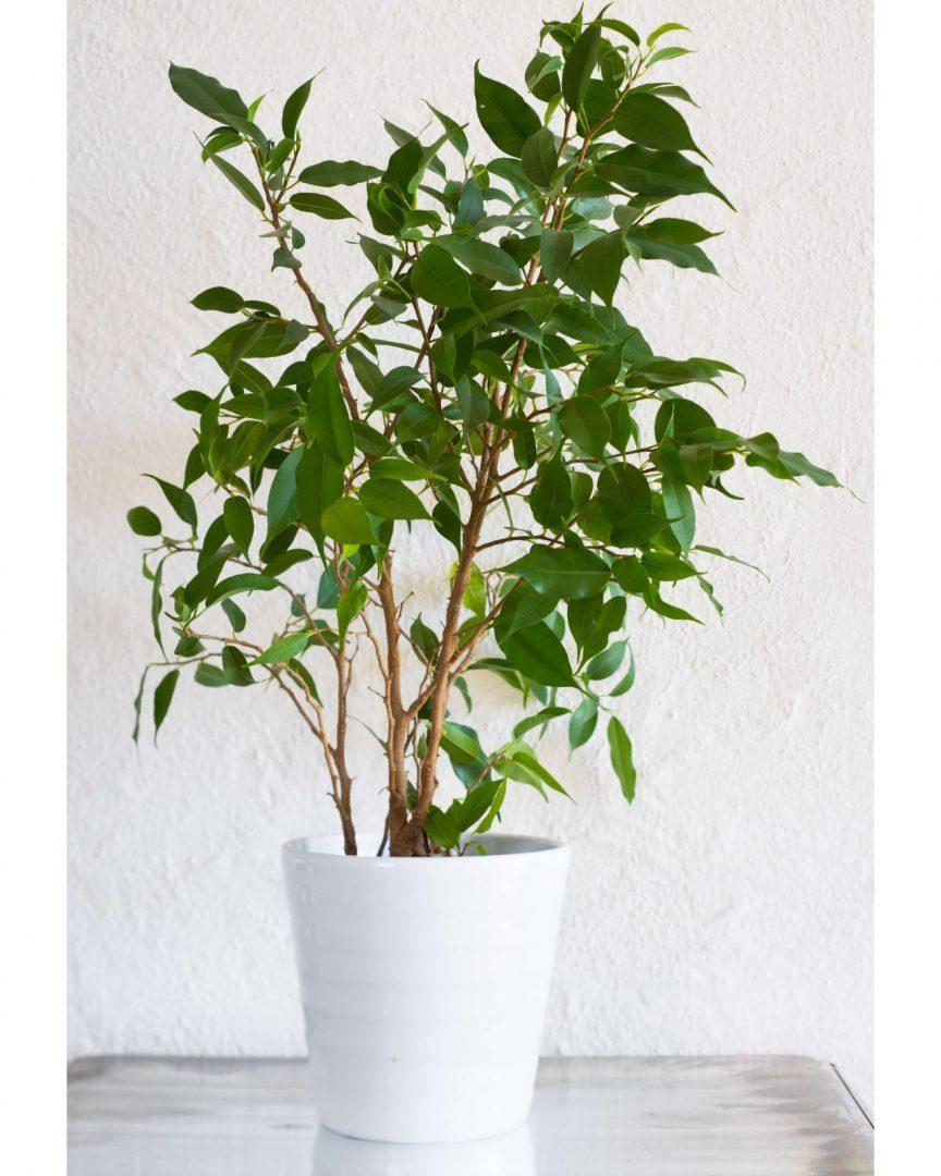 5 plantas que purificam a casa um jardim para cuidar for Ficus interior cuidados