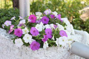 25 plantas para varandas e terra os sempre floridos for Surfinia inverno