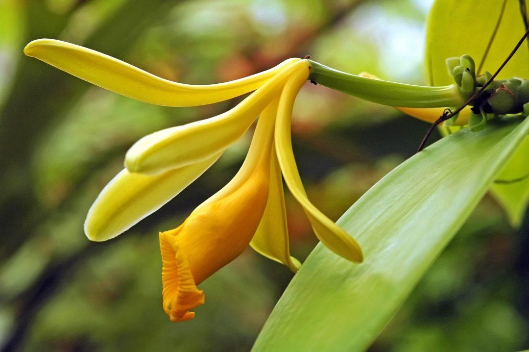 Resultado de imagem para orquídea vanilla