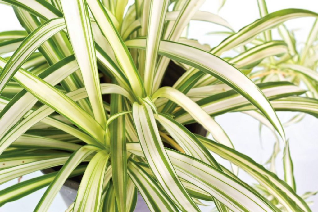 dividir plantas