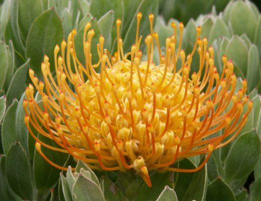 flora toscana prótea