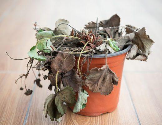 Porque morrem as suas plantas