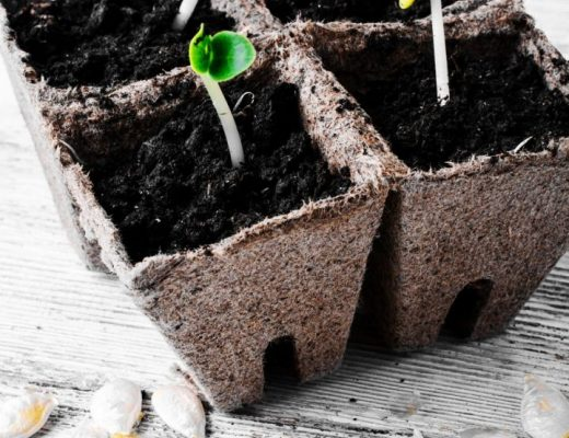 as sementes