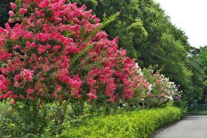 árvores floridas