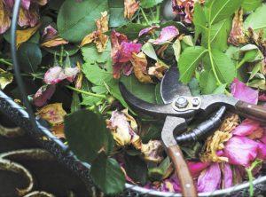 roseiras arbustivas