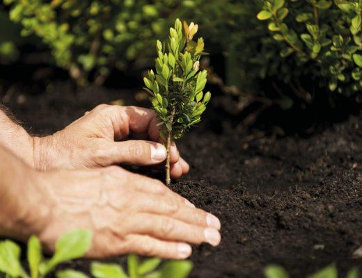 Plantar árvores e arbustos