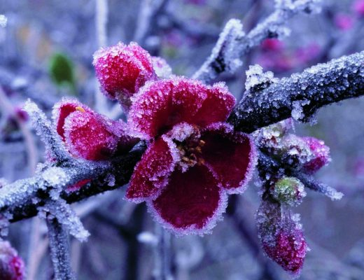 flor invernal