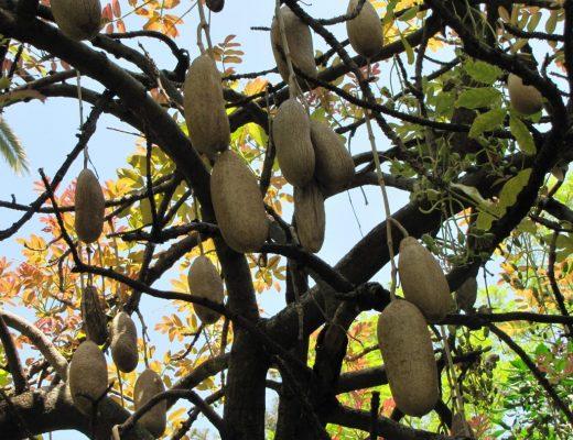 árvore-das-salsichas
