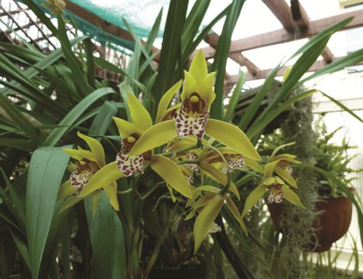 orquídeas mediterrânicas