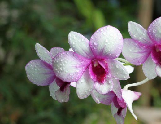 orquídeas-bebé