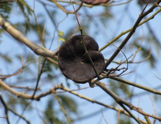 árvore-da-orelha-de-elefante