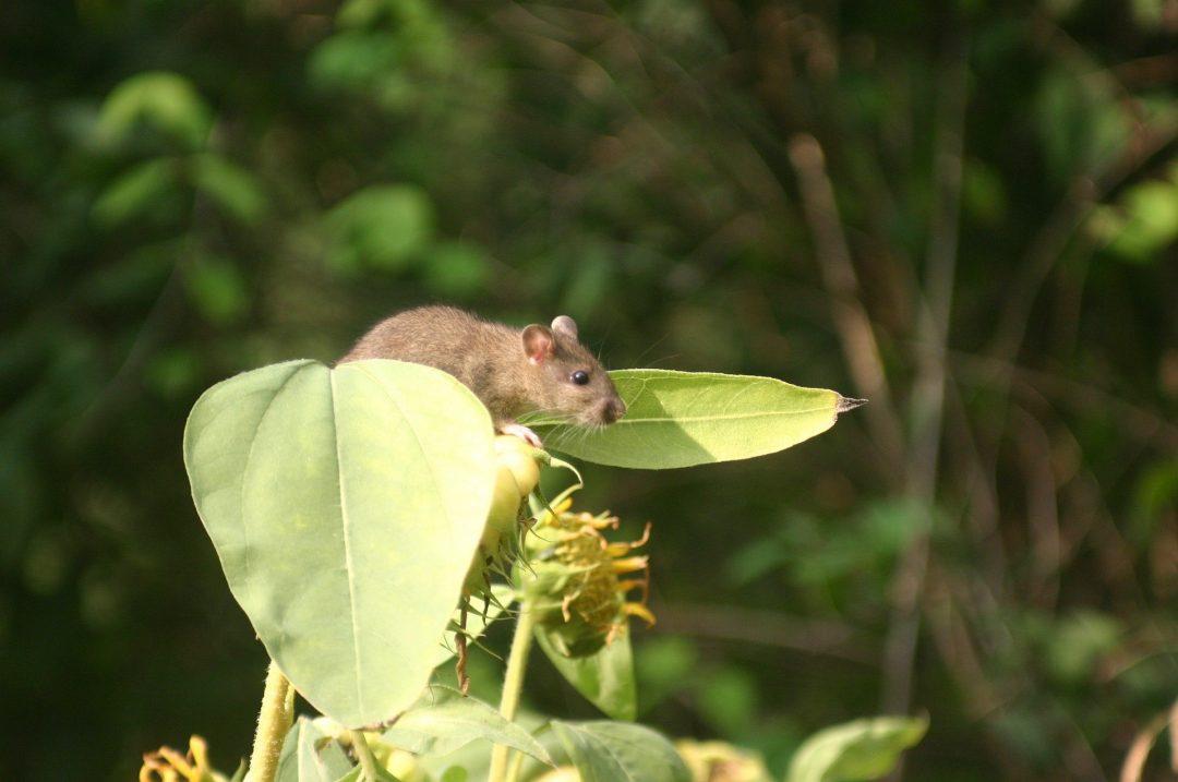 como combater roedores na horta