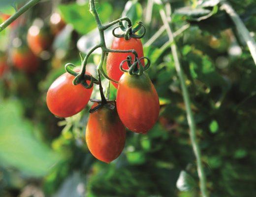 tomateiros