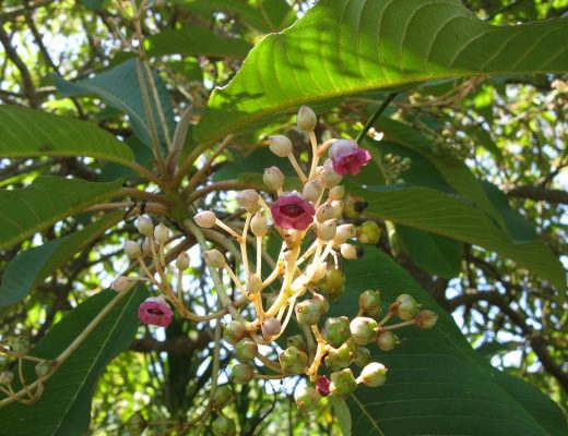 Saurauia napaulensis