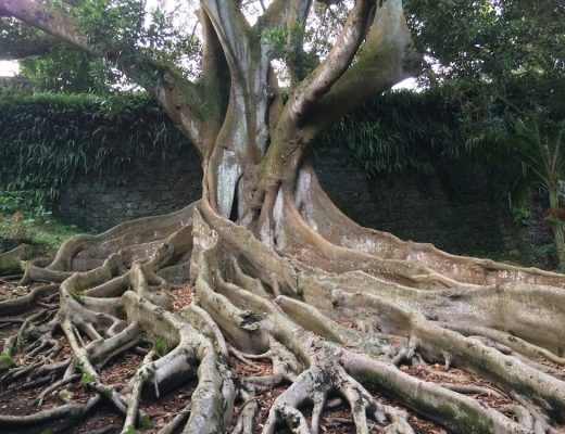 árvore-da-borracha-australiana