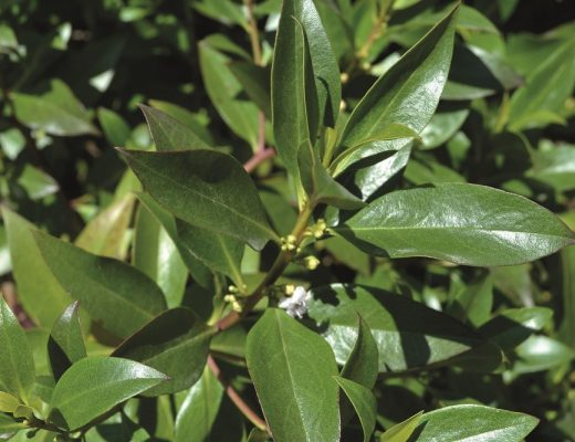 Myoporum acuminatum