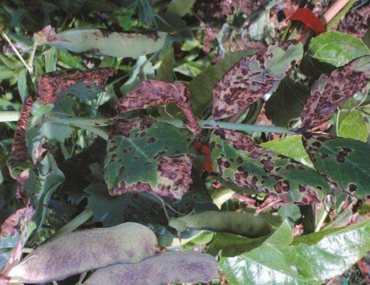 ascoquita da ervilha