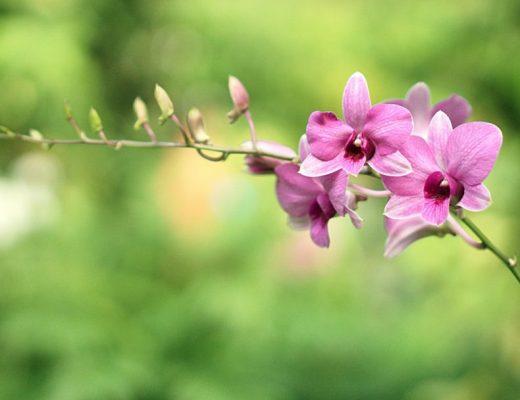 camélias e orquídeas